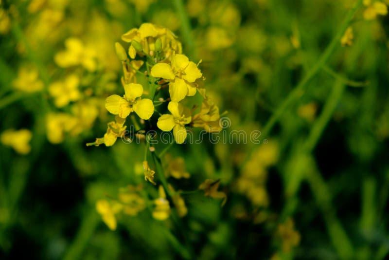 油菜籽Floweres是春天的一个嫩标志 免版税库存图片