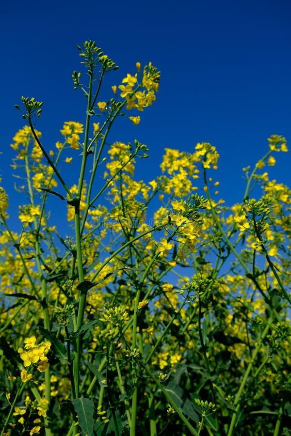 油菜籽Floweres是春天的一个嫩标志 免版税库存照片