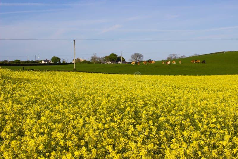 油菜籽oi的领域有它明亮的黄色头状花序的爱尔兰农场,被对比反对清楚的蓝天在ea的一个晴天 库存图片