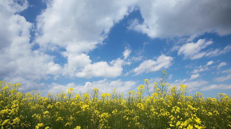 油菜领域,为收获和蓝色多云天空准备 库存图片