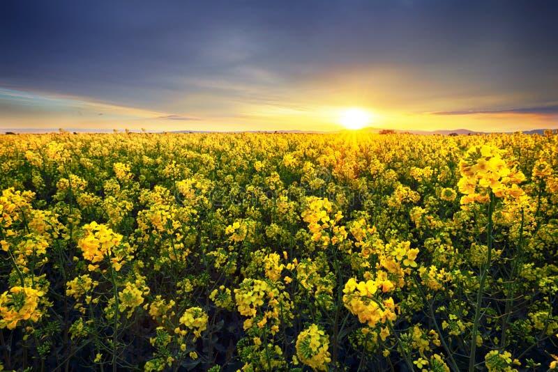 油菜黄色领域,在云彩,油菜籽背景的风景在日落的 库存图片