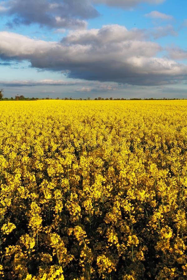 油菜黄色领域 库存图片