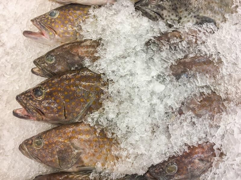 油腻石斑鱼鱼 免版税库存照片