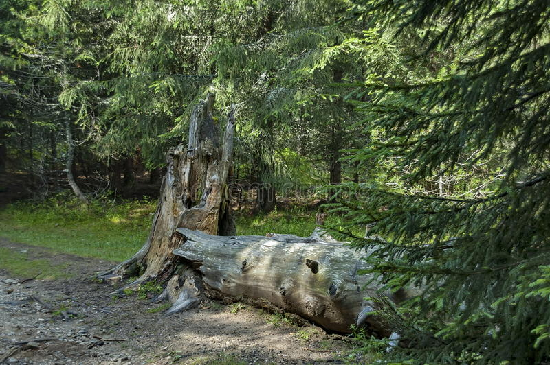 沼地看法,草和残破的树干在中间部分在Rila山往Maliovitza锐化 免版税库存照片