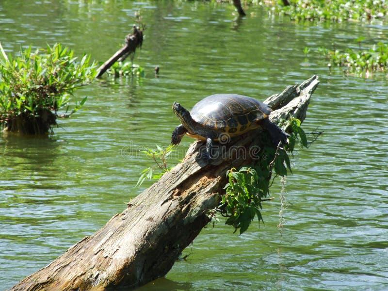 沼泽乌龟 免版税库存照片