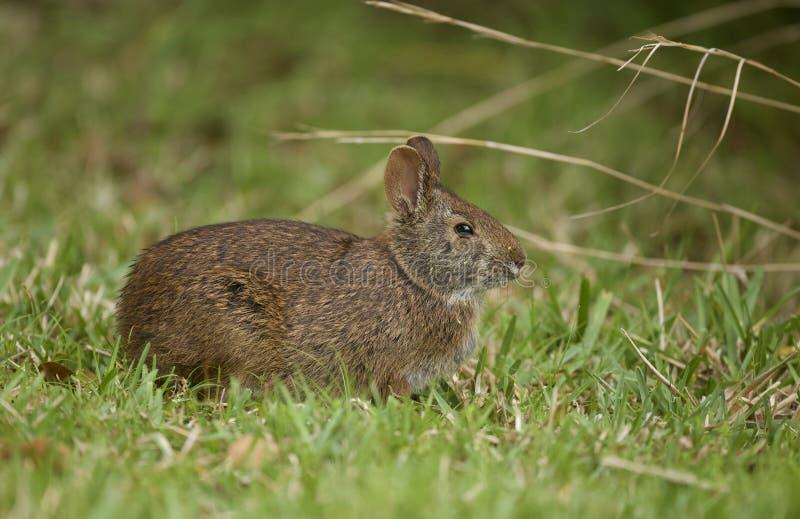沼泽兔子在佛罗里达 免版税图库摄影