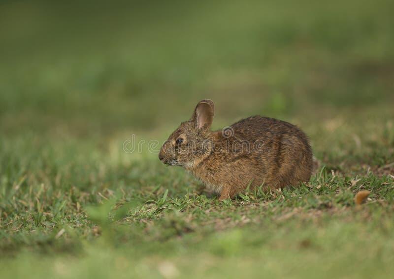 沼泽兔子在佛罗里达 免版税库存图片