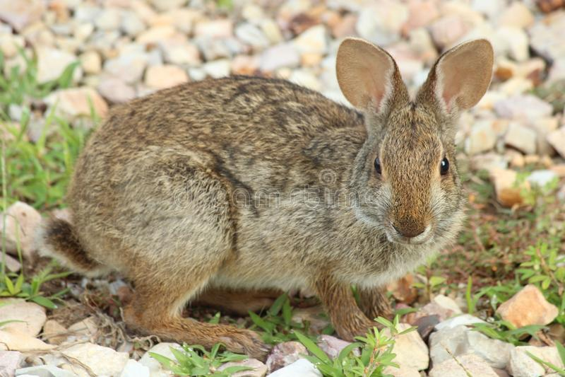 沼泽兔子 库存照片