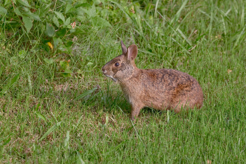 沼泽兔子 免版税库存图片