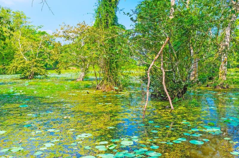 沼泽在斯里兰卡的森林里 免版税库存照片