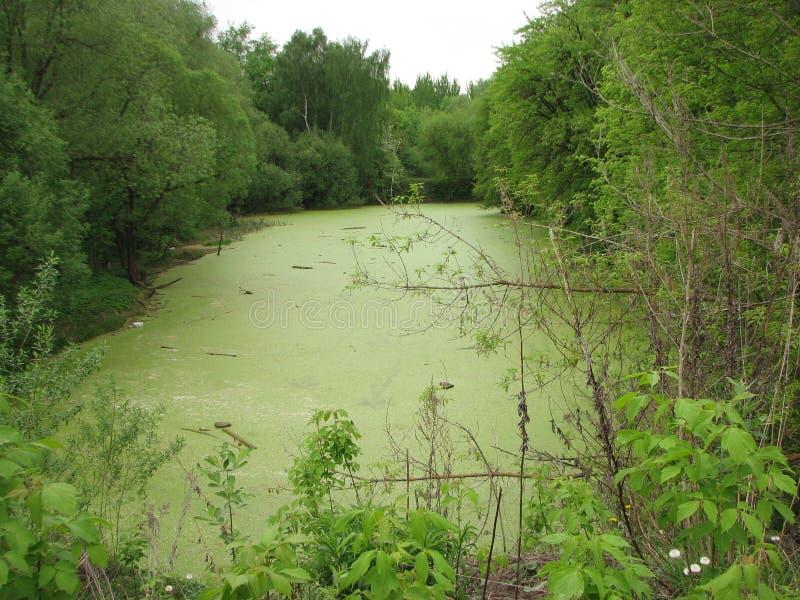 沼泽在春天森林 免版税库存图片