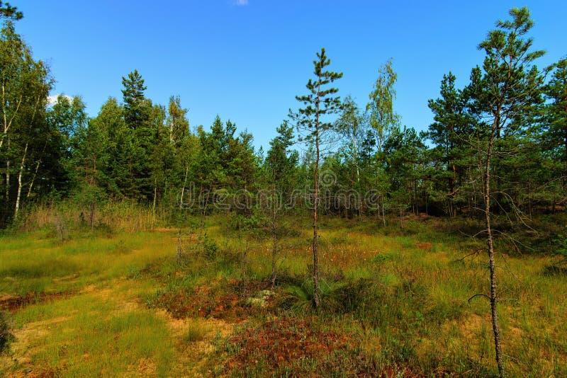 沼泽在Kemeri国立公园风景背景中,晚夏,选择聚焦 免版税库存照片