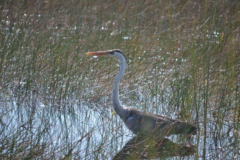沼泽地白鹭狩猎在沼泽 库存图片