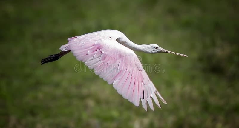 沼泽地粉红琵鹭 免版税库存图片