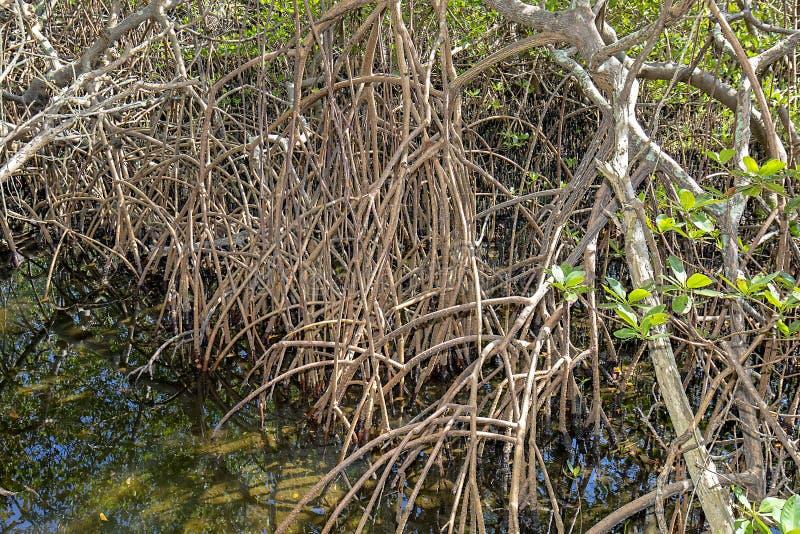 沼泽地美洲红树根 免版税库存图片