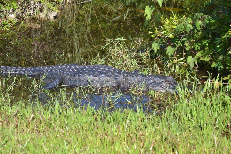 沼泽地鳄鱼在沼泽水中 免版税库存照片