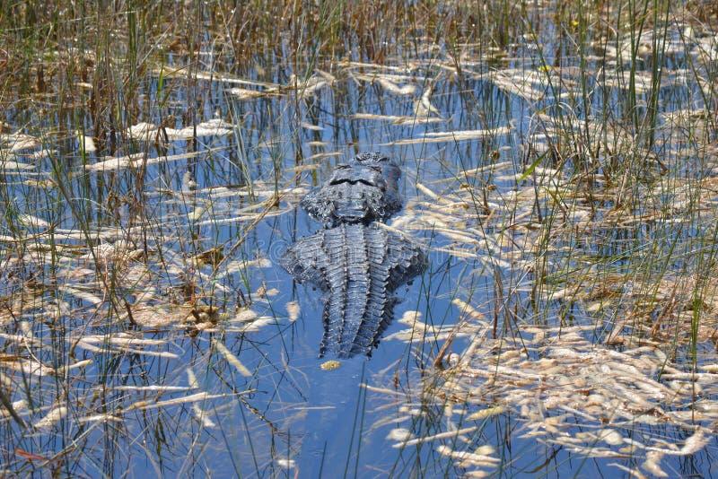 沼泽地鳄鱼游泳在沼泽 库存照片