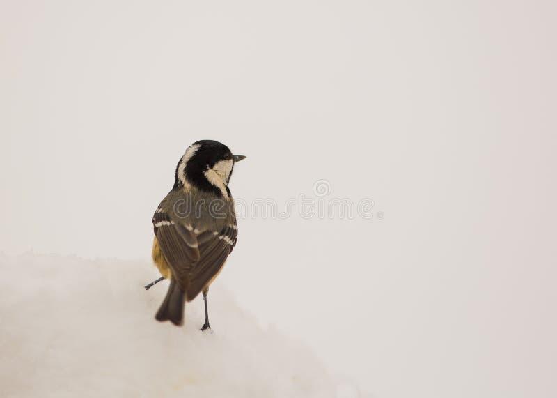 深雪泥浆(poecilepalustris)在将做它的山雀查寻是站立更加a深雪的白对虾v深雪沼泽水图片