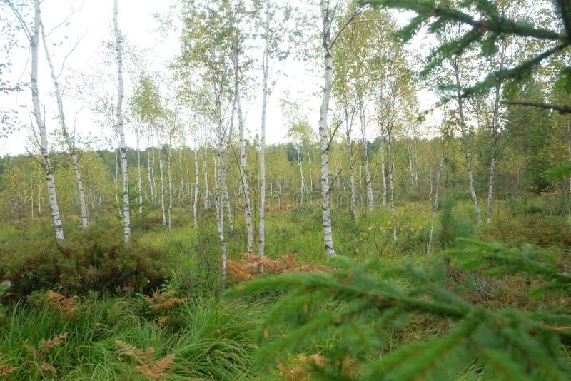沼泽桦树,自然 免版税库存照片