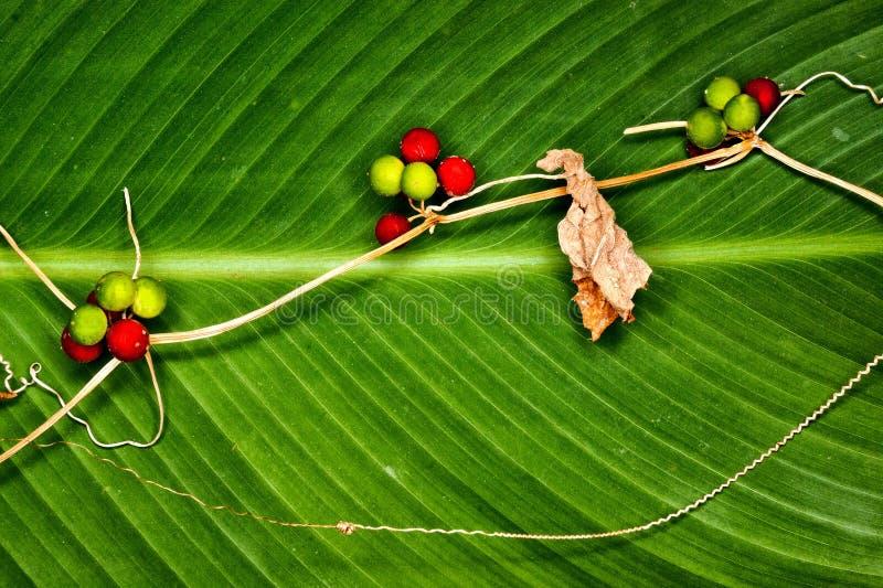 沼泽植物用以一片大绿色叶子为背景的莓果,特写镜头 免版税库存图片