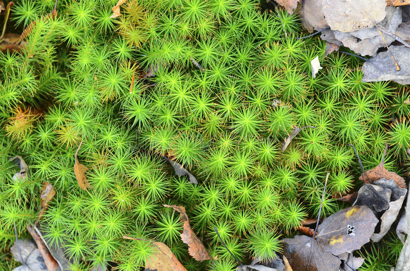 沼泽泥炭藓和下落的叶子 纹理 免版税库存图片