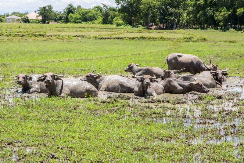 沼泽的泰国水牛城 免版税库存图片