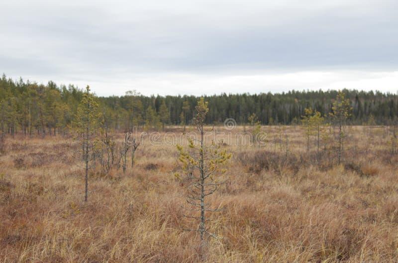 沼泽芬兰有低主要青苔营养素被阻碍的结构树 多云天空 秋天 免版税图库摄影