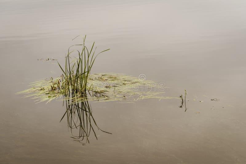 沼泽草在镇静水中 免版税库存照片