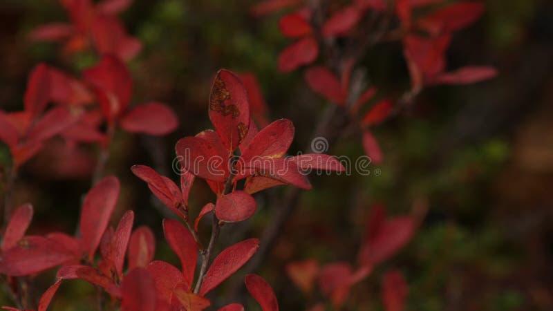 沼泽蓝莓红色叶子  秋天银行上色德国莱茵河结构树黄色 免版税库存照片