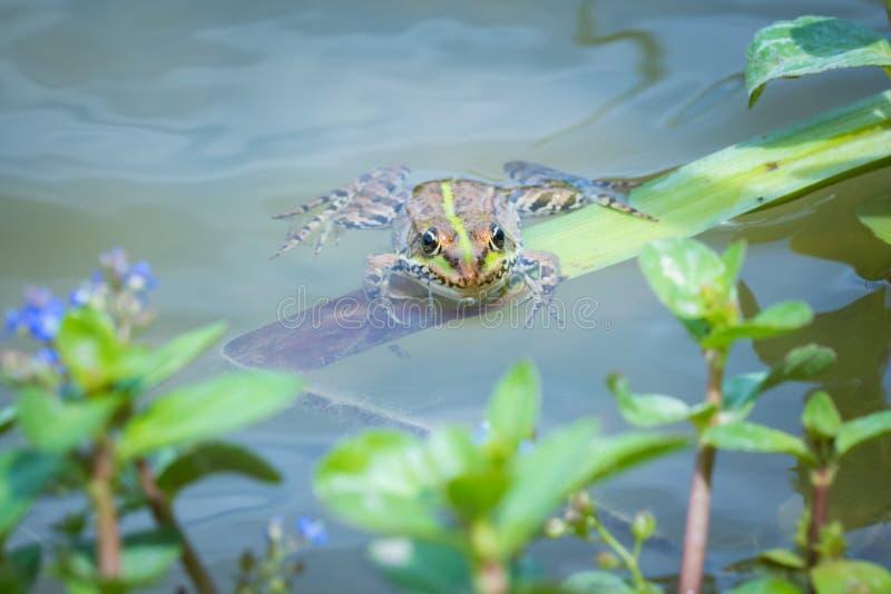 沼泽青蛙 库存图片