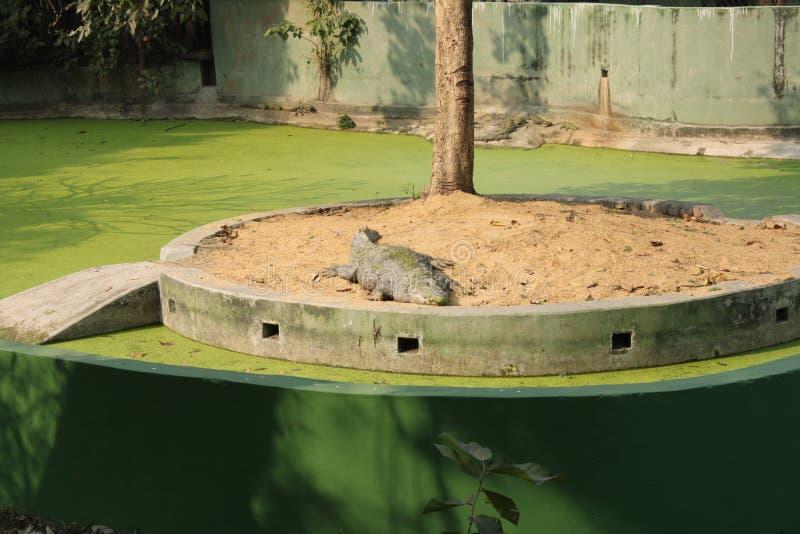 沼泽鳄鱼或泽鳄 免版税库存照片