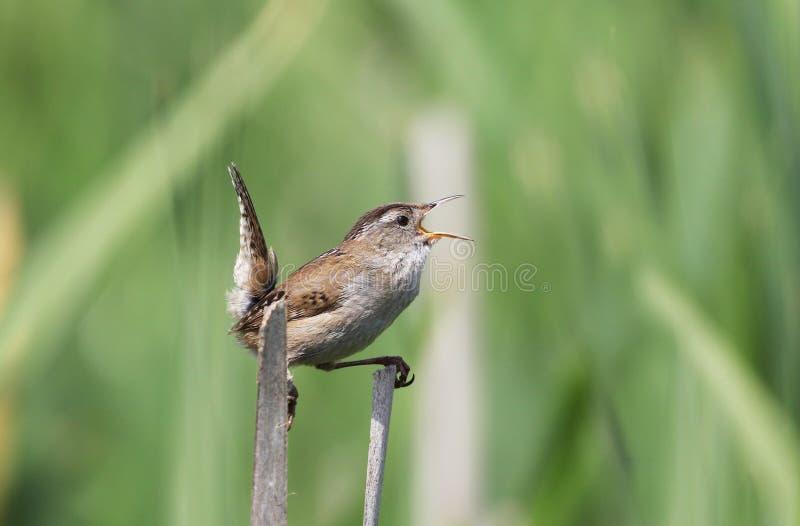 沼泽鹪鹩唱歌 免版税库存图片