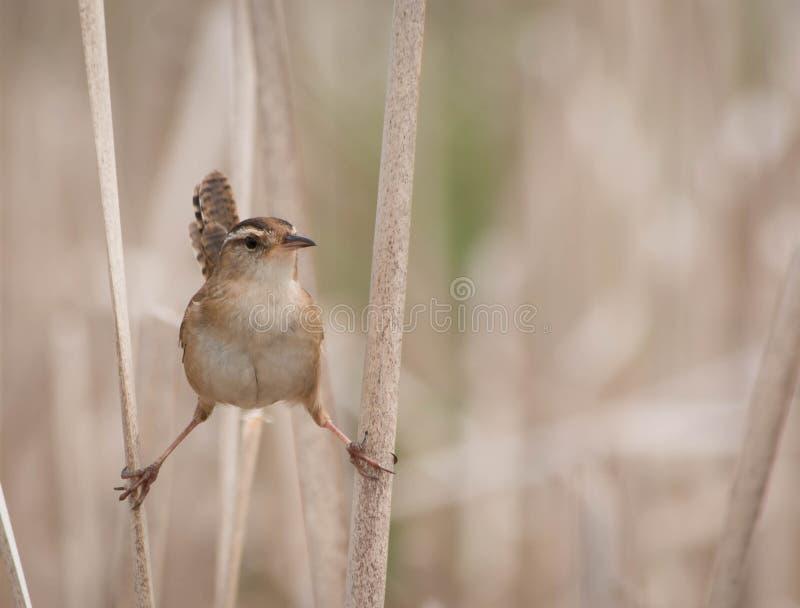 沼泽鹪鹩在两芦苇的cistothorus palustris 库存照片