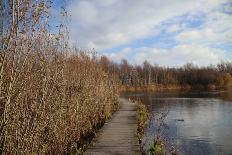 沿一个水池的布朗芦苇在秋天期间在度假区在Nieuwerkerk aan小室IJssel说出Park Hitland名字在荷兰 库存照片