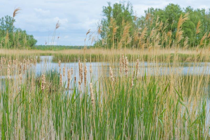 沿一个湖的边缘的里德在多云天空下的在春天 库存照片