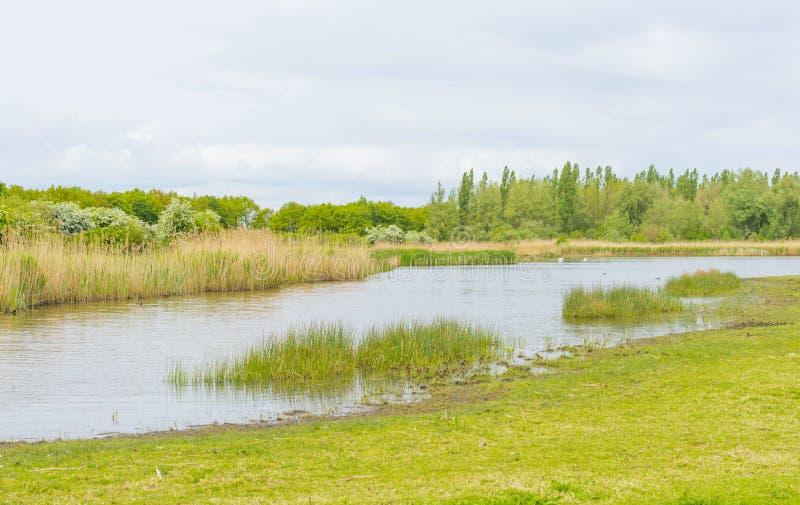 沿一个湖的边缘的里德在多云天空下的在春天 免版税库存图片