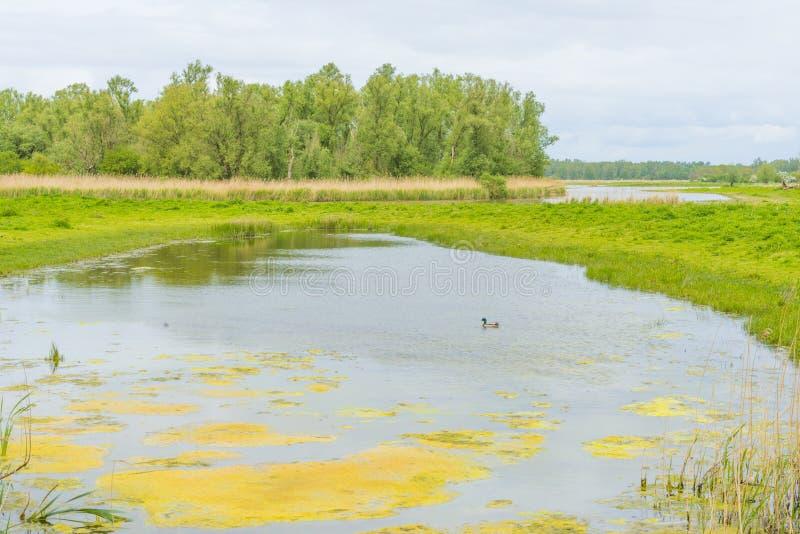 沿一个湖的边缘的里德在多云天空下的在春天 库存图片