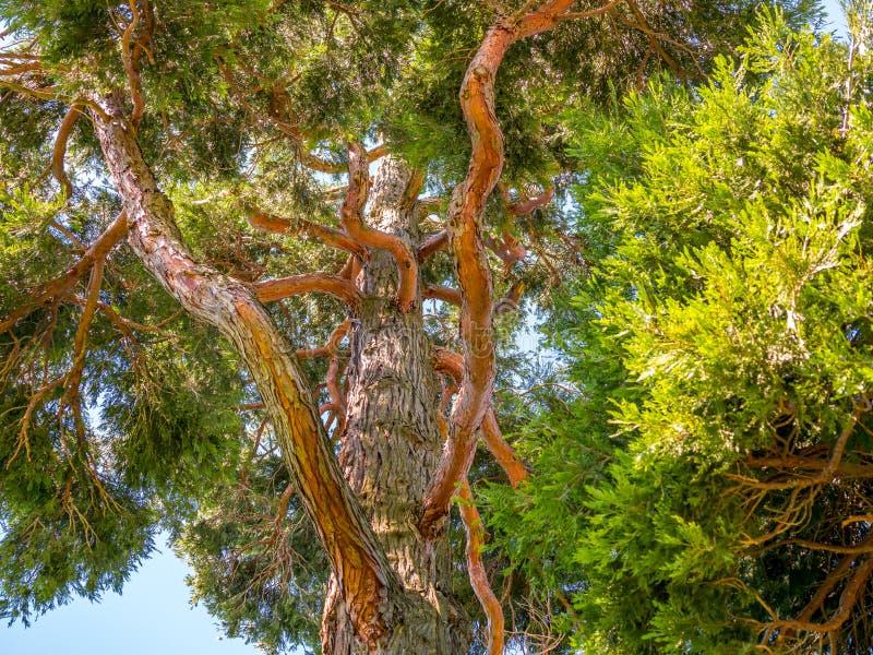 沿一棵大树的底下看法 免版税库存照片
