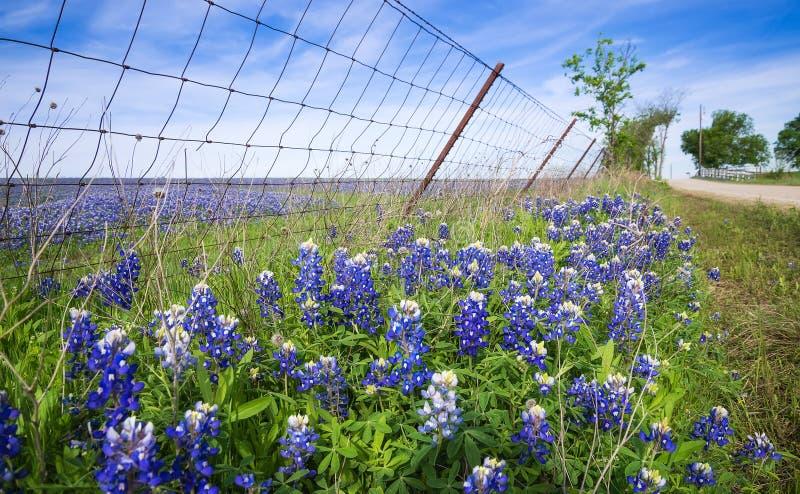 沿乡下公路的矢车菊在得克萨斯春天 免版税库存照片