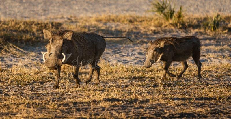 沿几乎barrent地面的两warthogs小跑 库存照片