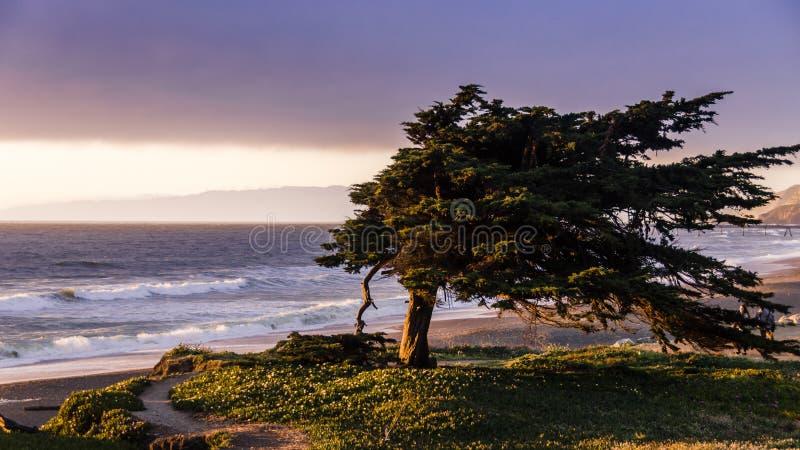 沿北加利福尼亚海岸的被风吹扫柏树 库存图片