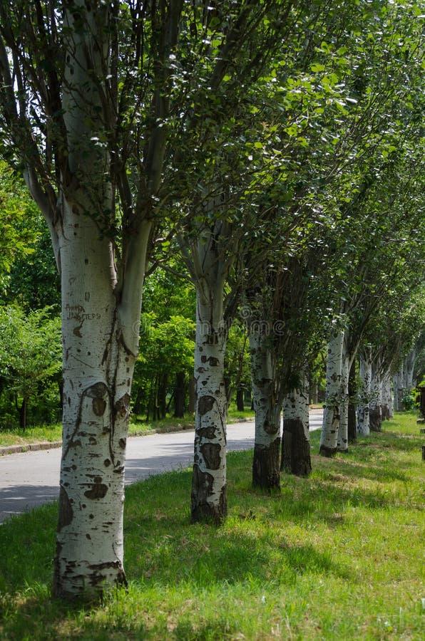 沿城市街道的白杨树胡同 春天步行在他的出生地城市 图库摄影