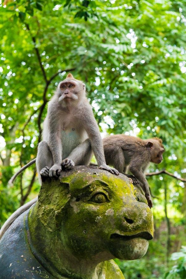 沿岸航行海南岛短尾猿猴子猴子nanwan本质保护的预留南状态 免版税库存图片