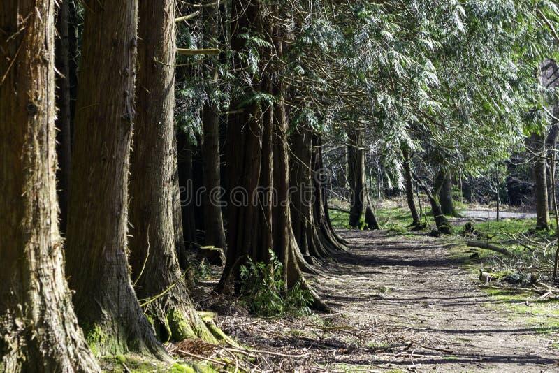 沿杉木森林的道路在夏天 免版税库存图片