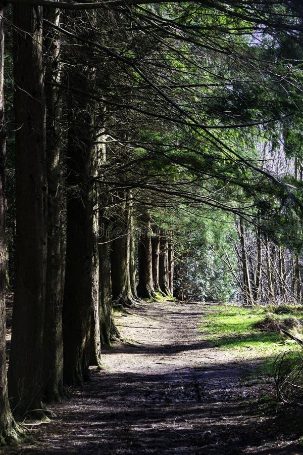 沿杉木森林的道路在夏天 库存图片