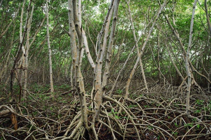 沿河的美洲红树树 美洲红树树根在一个热带密林 库存照片
