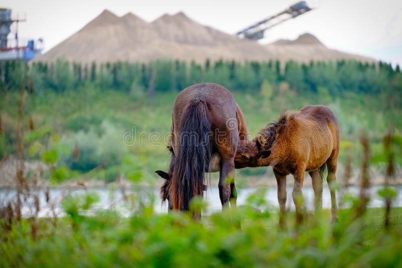 沿河的野马;饮用的马驹 免版税库存图片