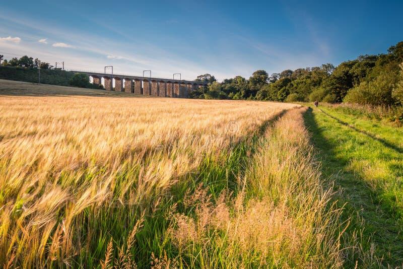 沿河Aln步行的大麦庄稼 库存照片