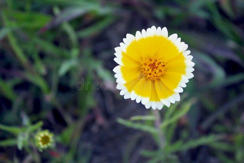 沿海宽舌莱氏菊有趣的花,Layia platyglossa 库存图片