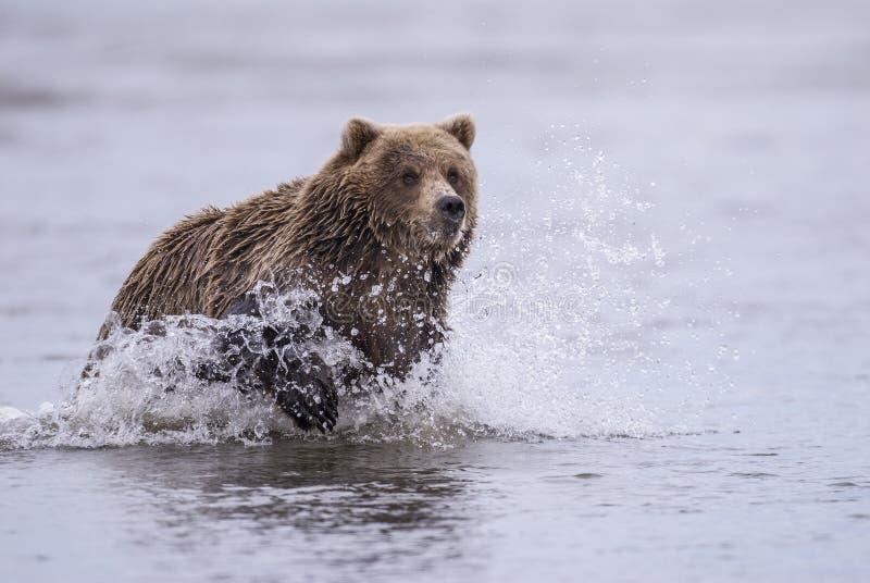 沿海棕熊追逐 免版税图库摄影